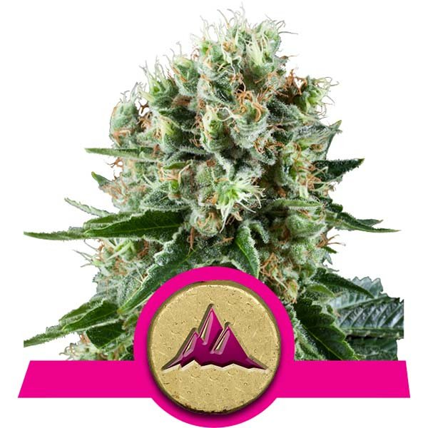 critical kush strain royal queen seeds