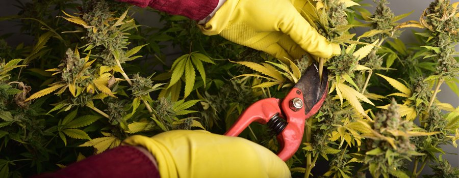 cannabis cutting