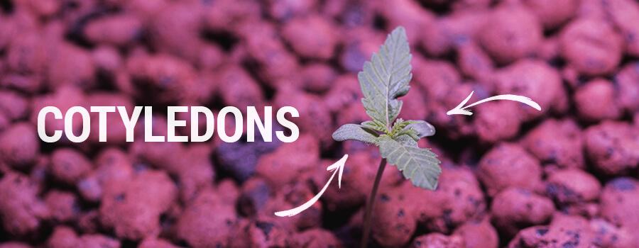 Seedling Cotyledons Cannabis