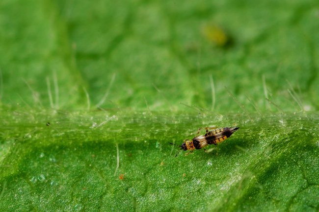 How to get rid of fruit flies on weed plants