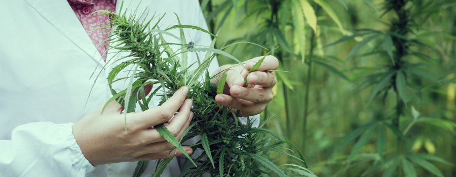 medical marijuana cannabis strain bipolar disorder treatment