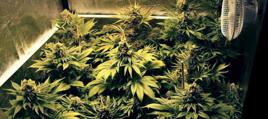 best marijuana seeds