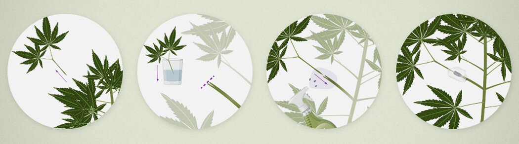 How To Graft Cannabis