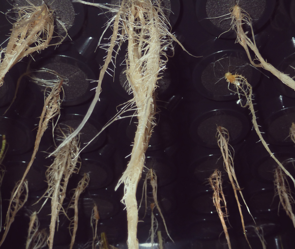 PYTHIUM overwatered cannabis roots grower pruning hydroponic