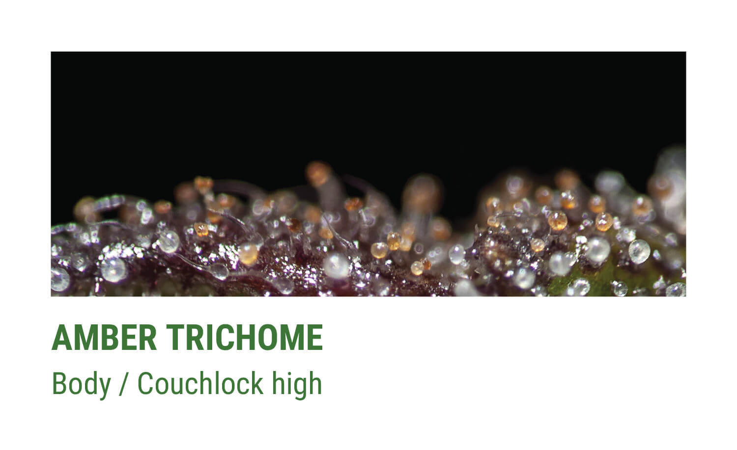 AMBER TRICHOMES