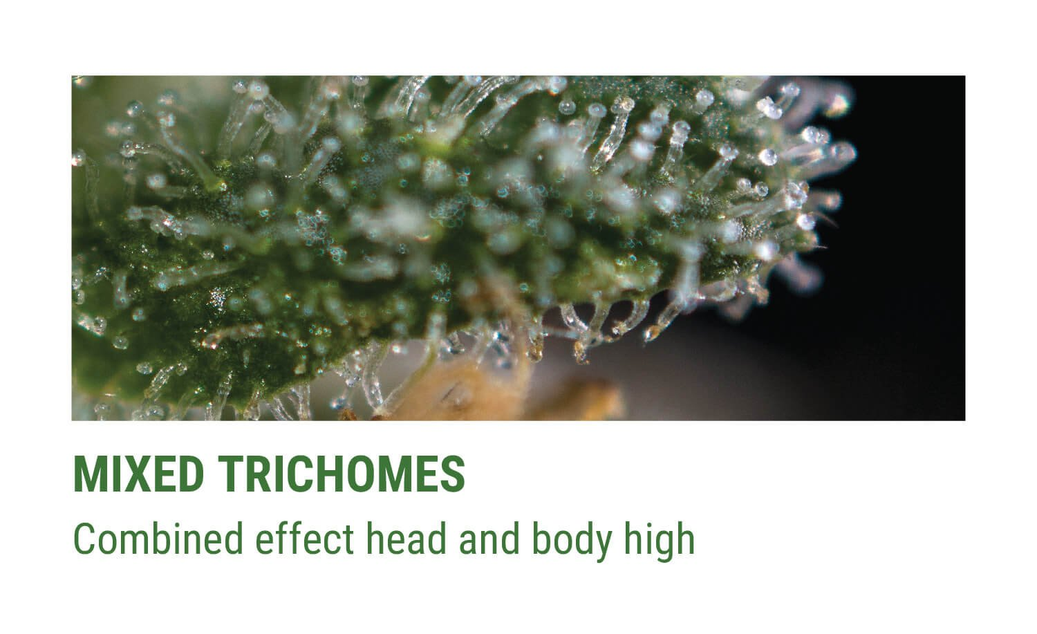 MIXED TRICHOMES