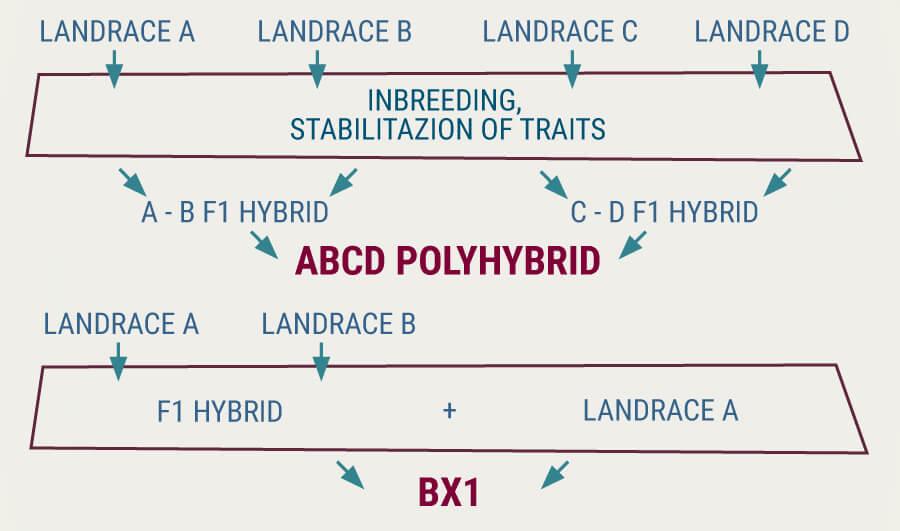 Landrace Hybrid Stabilisation
