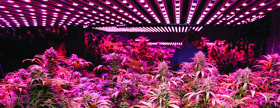 Led Growing Lights Cannabis