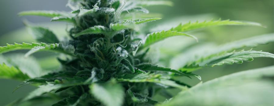 Autoflowering Cannabis Small