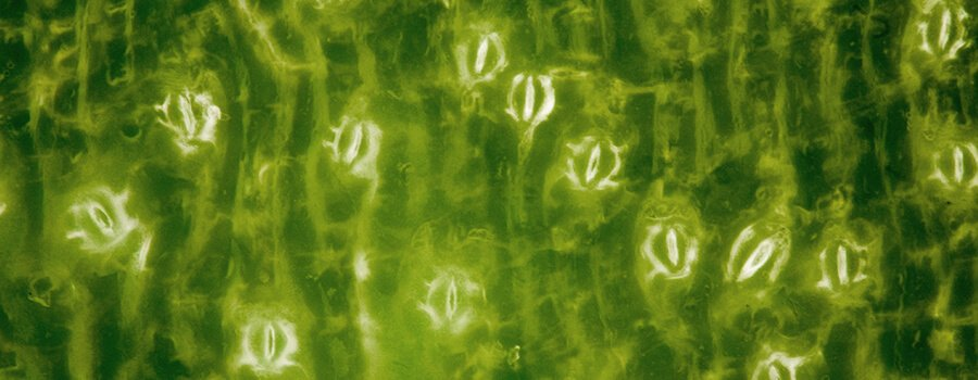 Stomata Cannabis Leaves