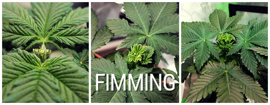 Cannabis Fimming Plant Example
