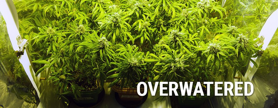 Overwatering Cannabis Plants