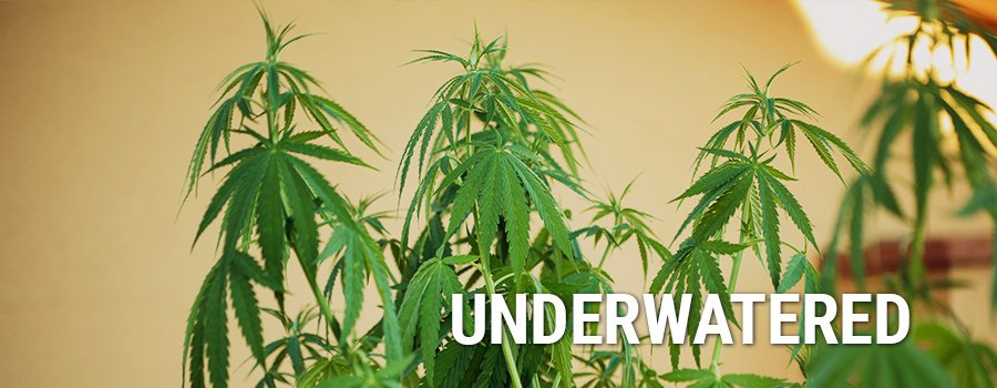 Underwatering Cannabis Plants
