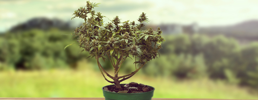 How To Grow A Marijuana Bonsai - RQS Blog