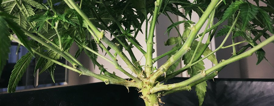 Cannabis Monster Cropping Branches