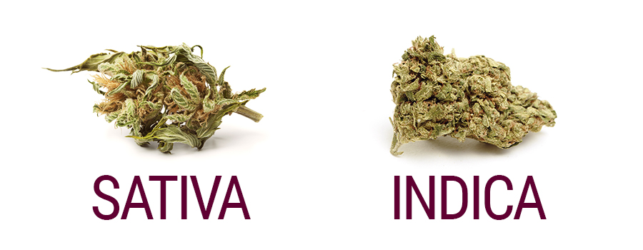 Cannabis Sativa And Indica Buds