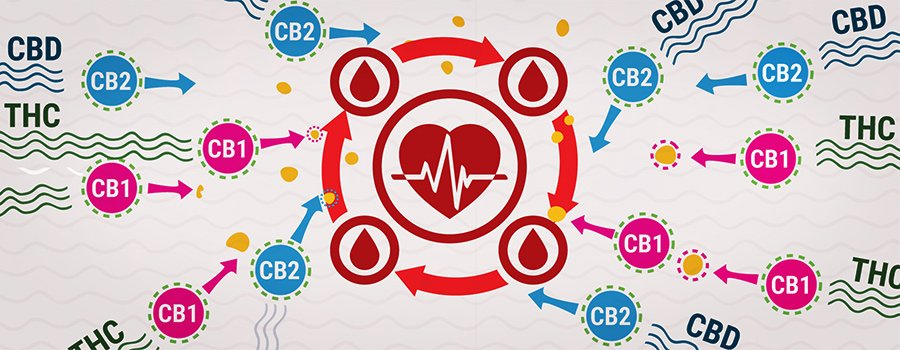 CB1 And CB2 With THC And CBD Interaction Blood Pressure