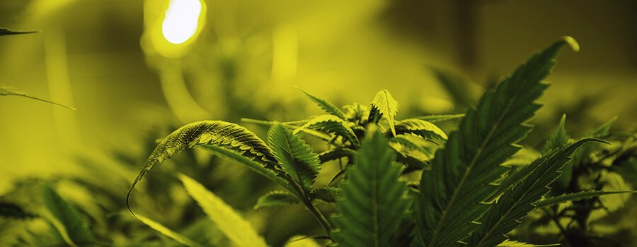 The Optimal Amount Of Light For Cannabis Plants