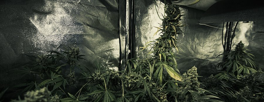 Grow Different Cannabis Strains At The Same Time In The Same Space