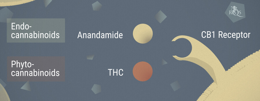 Anandamide And Cannabis