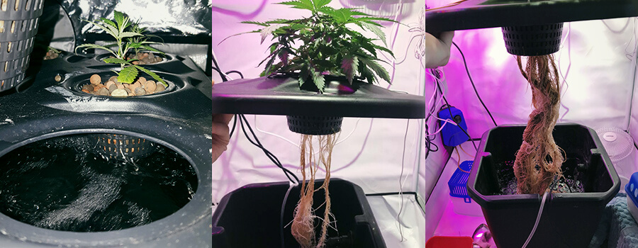 Get Huge Yields Using Deep Water Culture (DWC) - RQS Blog