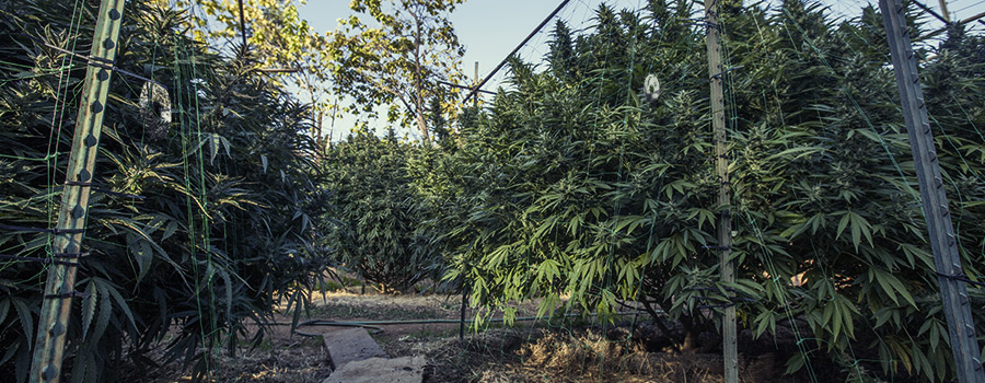 Cannabis Outdoor Plantation For Birds