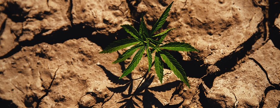 Cannabis Plant Grown In Drought Conditions