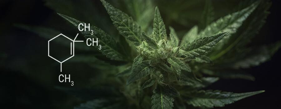 Eucalytpol Terpene In Cannabis