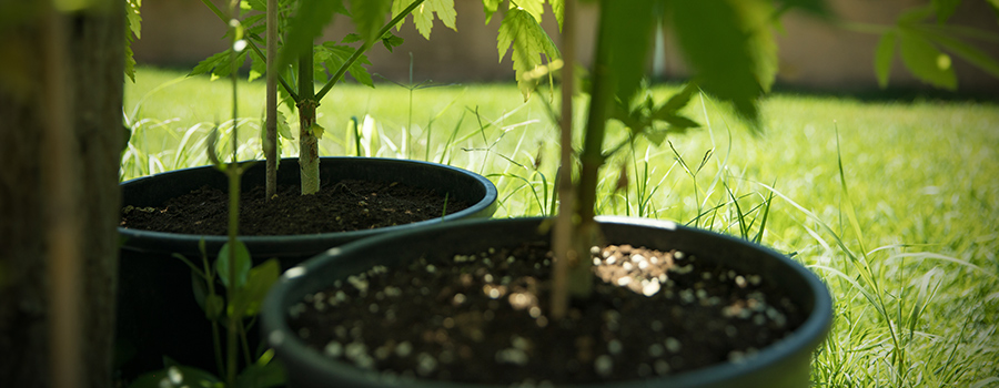 Cannabis Cultivation Soil