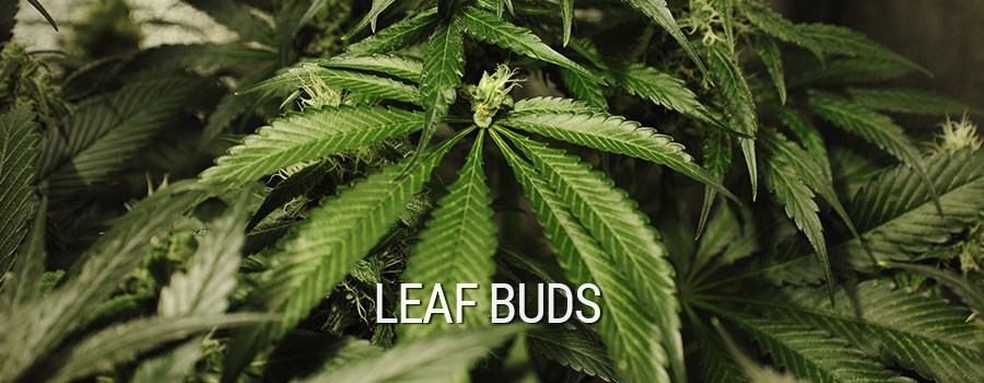 Leaf Buds Cannabis Mutation
