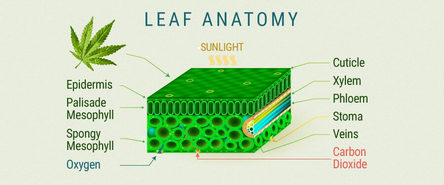 Leaf Anatomy Cannabis
