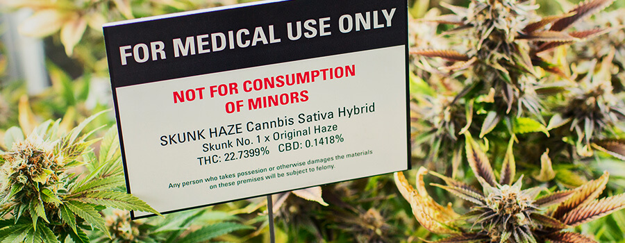 Cannabis Plantation For Medical Marihuana