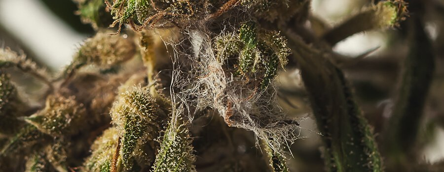 Mold in a Cannabis Bud