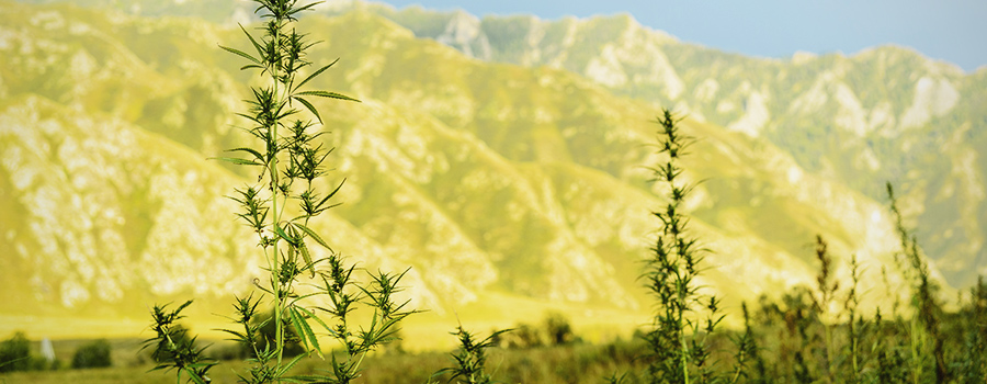 High Altitude Regions Cannabis