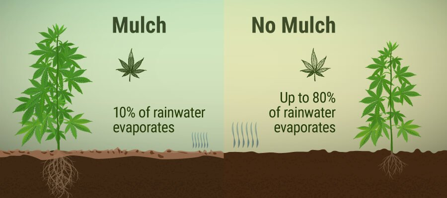 Mulch and No Mulch In Cannabis Cultivation