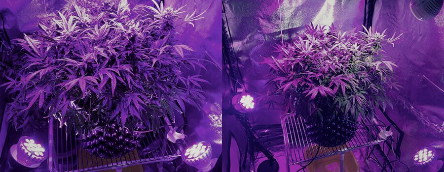 Side Lighting Cannabis