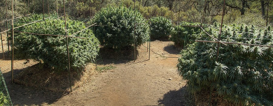 Outdoors Cannabis Trellis