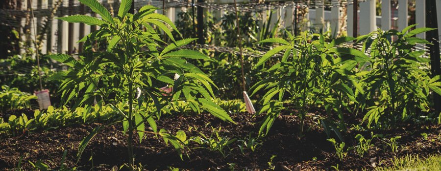 The Benefits of No-Till Cannabis Farming