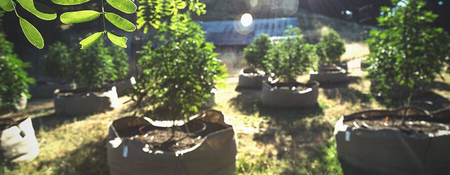 Passive Aerial Pruning in Cannabis Plants