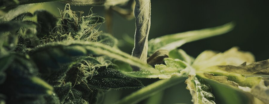 Pistils and Trichomes In A Cannabis Bud