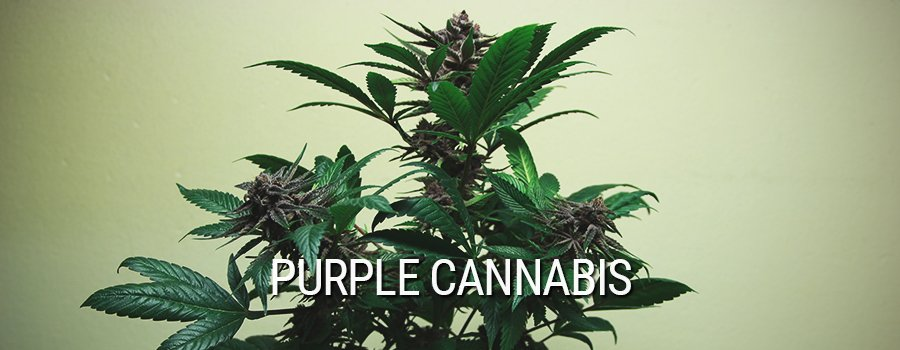 Purple Cannabis Cannabis Mutation