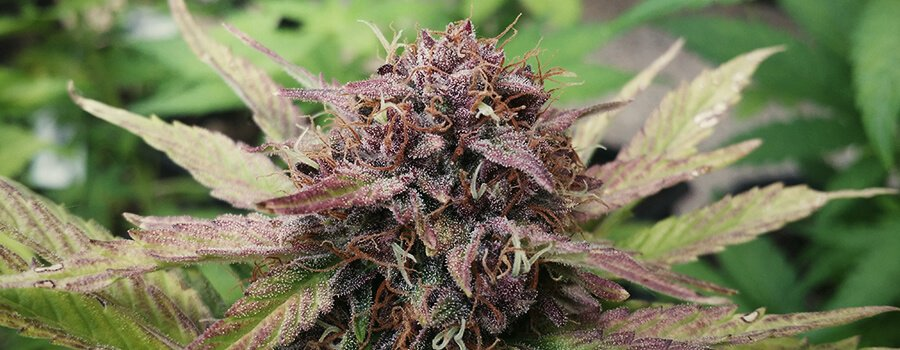 Purple Cannabis Plant