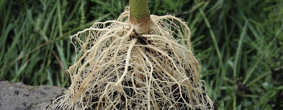 Healthy Cannabis Roots