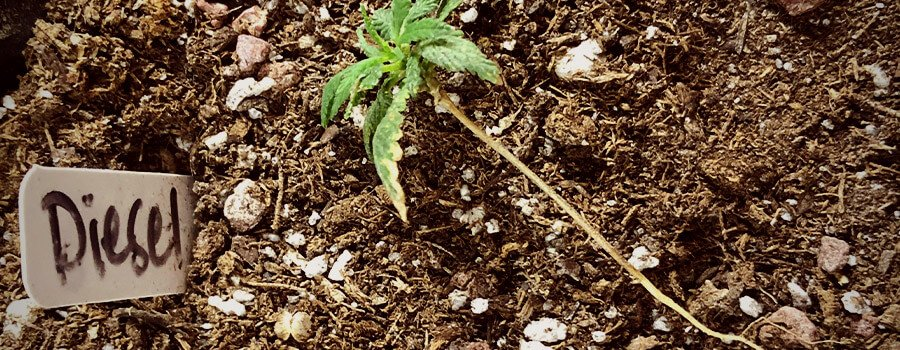 Damping Off Fungal Wilt Cannabis Plant