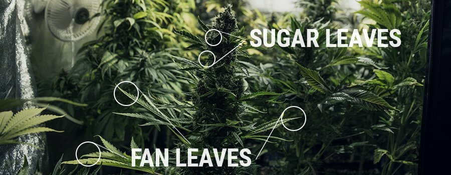 Sugar Leaves And Fan Leaves