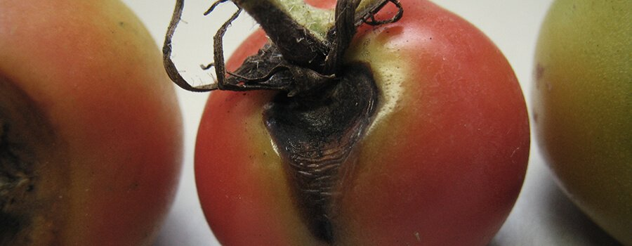 Alternaria Fungus on Tomato