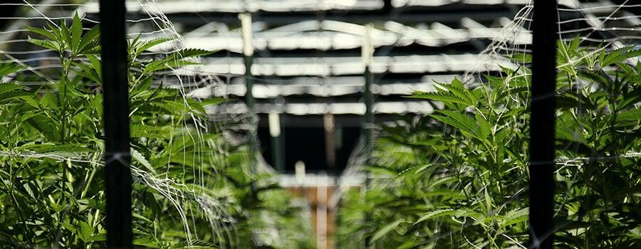 Trellis Structure For Cannabis Plants