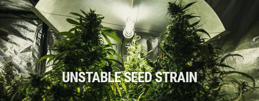 Unstable Seed Strain