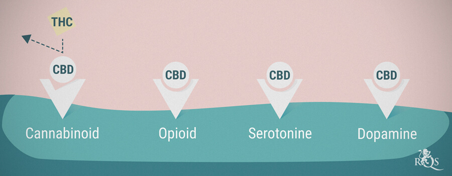 How CBD Interacts With Neurons Receptors
