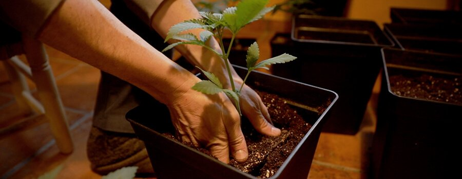 How and When to Transplant your Cannabis
